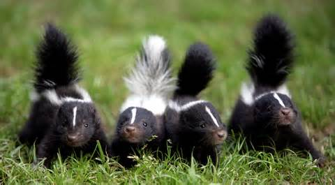 (226) 600-5597 SKUNK S GET OUT #SkunkRemoval (226) 600-5597