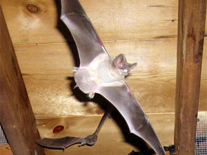 BATS TO THE ATTIC (226) 600-5597 BATS GET OUT #WildAnimalRemovalOntario